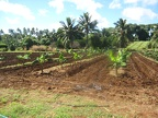 Agriculture - new banana plantation